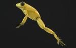 Golden Frog 02